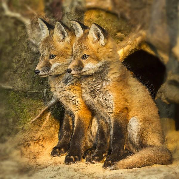 Photograph - Fox Kit Twins by John Vose
