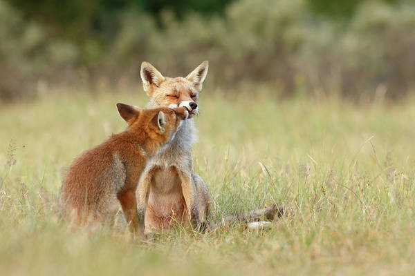 Cute Overload Photograph - Fox Love Series - Kiss by Roeselien Raimond