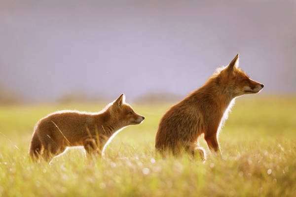 Wall Art - Photograph - Fox Love Series - Mom...? by Roeselien Raimond