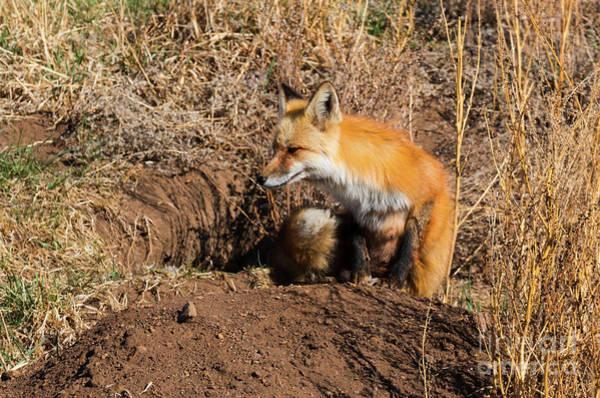 Photograph - Fox Nap by Steve Krull