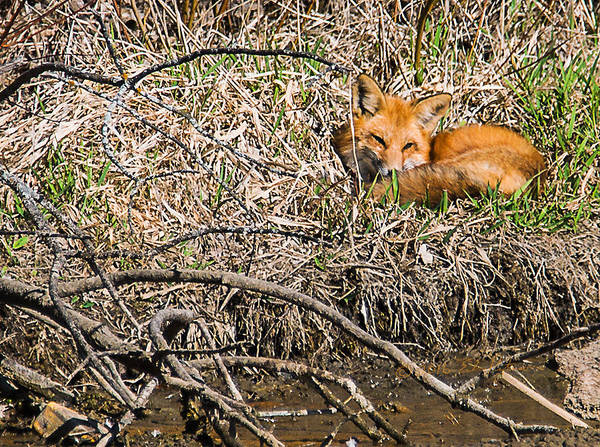 Photograph - Fox Napping by Edward Peterson