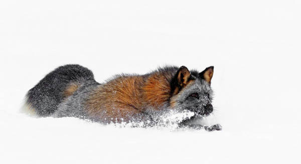 Photograph - Fox On A Mission by Wes and Dotty Weber