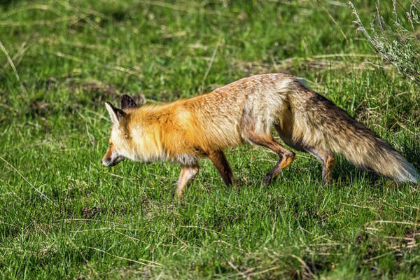 Wall Art - Photograph - Fox On The Hunt by Paul Freidlund