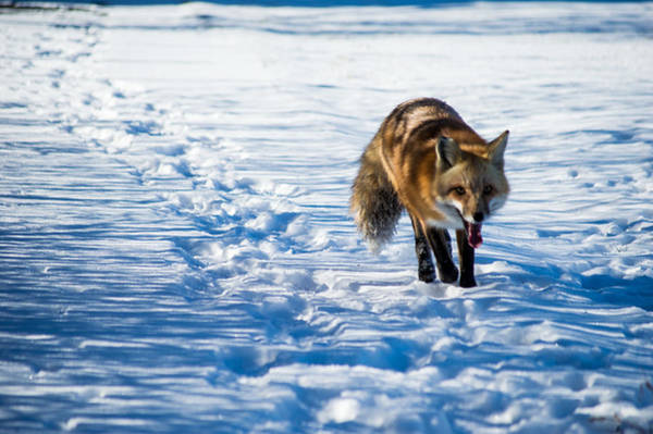 Photograph - Fox Path by Stephen Holst