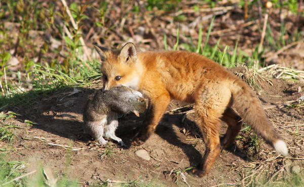 Wall Art - Photograph - Fox Pup With Prey by Mircea Costina Photography