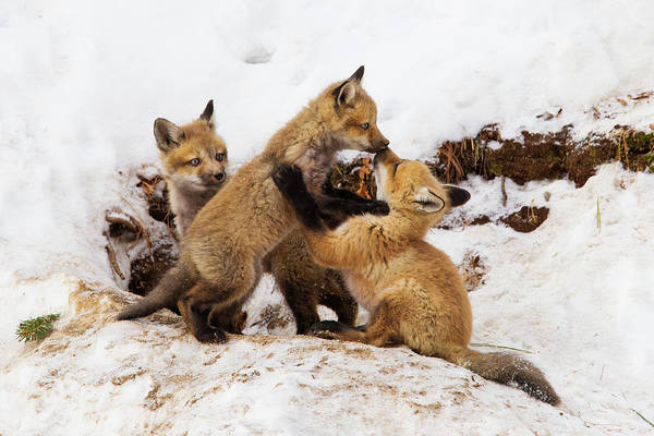 Wall Art - Photograph - Fox Pups In Winter by Mircea Costina Photography