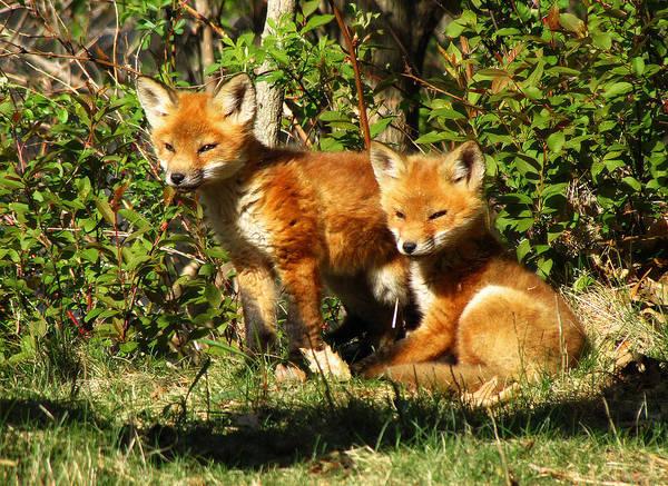 Photograph - Fox Pups by Scott Hovind