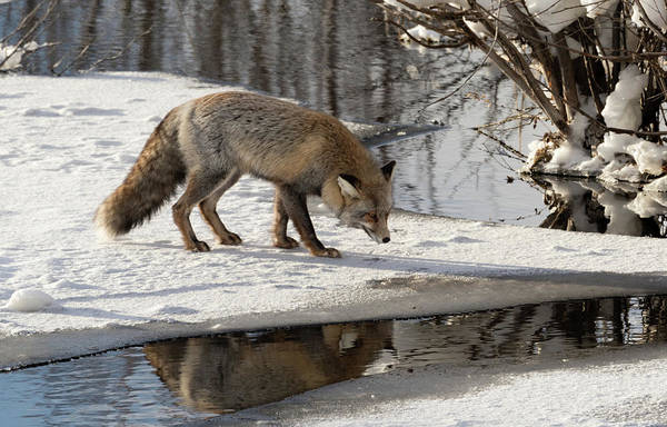 Photograph - Fox Reflection by Ronnie and Frances Howard