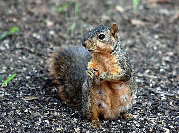 Fox Squirrel Breakfast Art Print