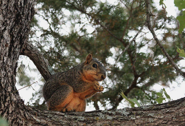Photograph - Fox Squirrel In Tree by Sheila Brown