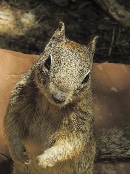 Photograph - Fox Squirrel by NaturesPix