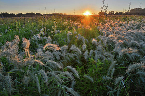 Photograph - Fox Tail Grasses Glow At Sunrise In Glacial Park by Ray Mathis