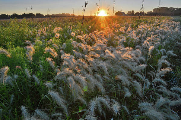 Photograph - Fox Tail Grasses Glow In Morning Light In Glacial Park by Ray Mathis