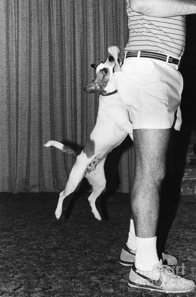 Photograph - Fox Terrier Leaping For Its Toy by Lynn Lennon