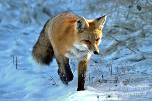 Photograph - Fox Trot In The Snow by Adam Jewell