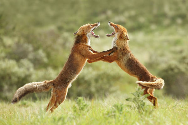 Behaviour Photograph - Fox Trot - Red Foxes Fighting by Roeselien Raimond