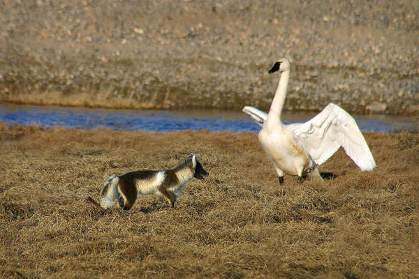Fox Vs Tundra Swan Art Print