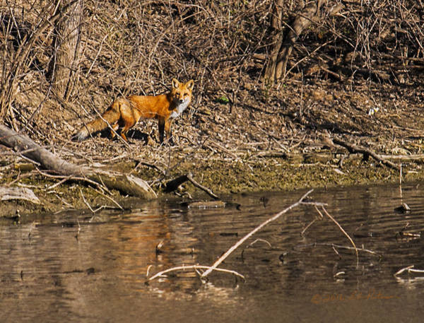 Photograph - Fox Walk by Edward Peterson