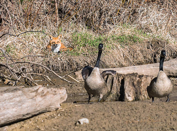 Photograph - Fox Watch by Edward Peterson