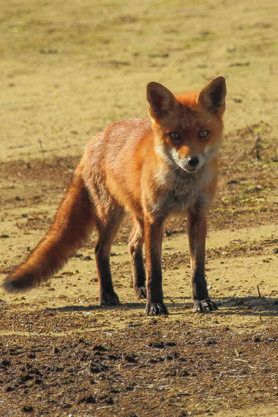 Photograph - Fox by Wendy Cooper