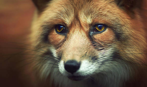 Nose Photograph - Fox by Zoltan Toth