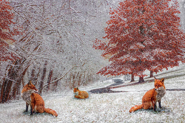 Photograph - Foxes In Winter White And Red by Debra and Dave Vanderlaan