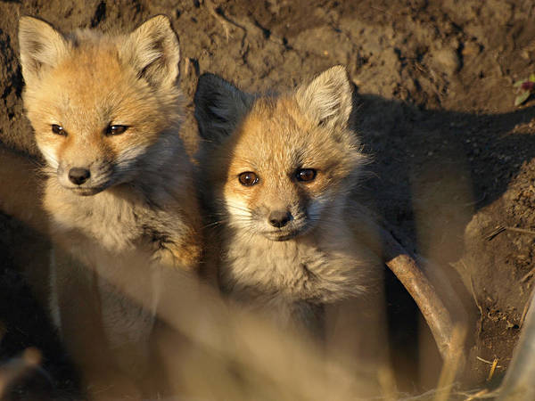 Photograph - Foxes by James Peterson
