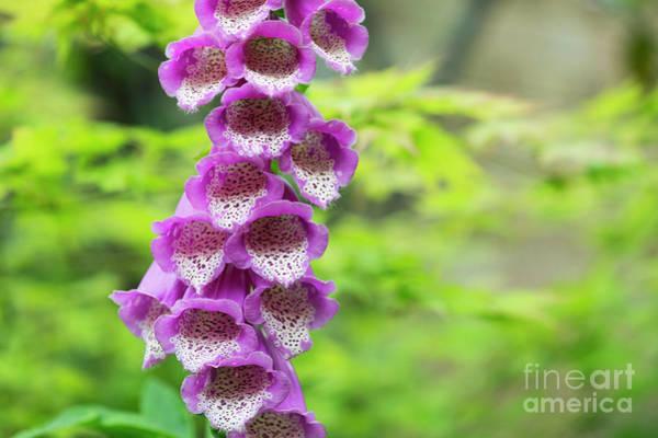 Foxglove Photograph - Foxglove Flowering by Tim Gainey