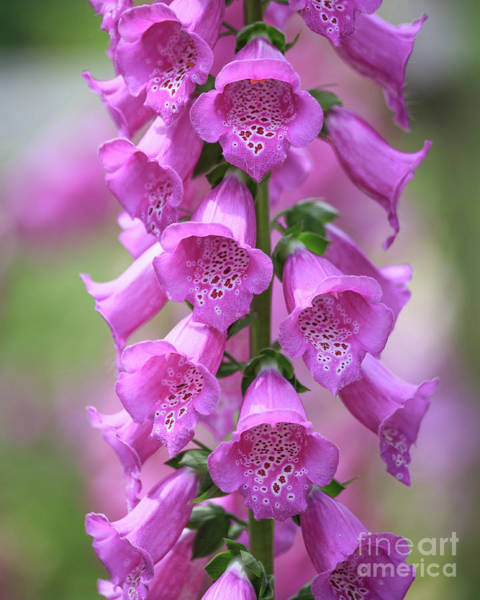 Foxglove Photograph - Foxglove Flowers by Edward Fielding