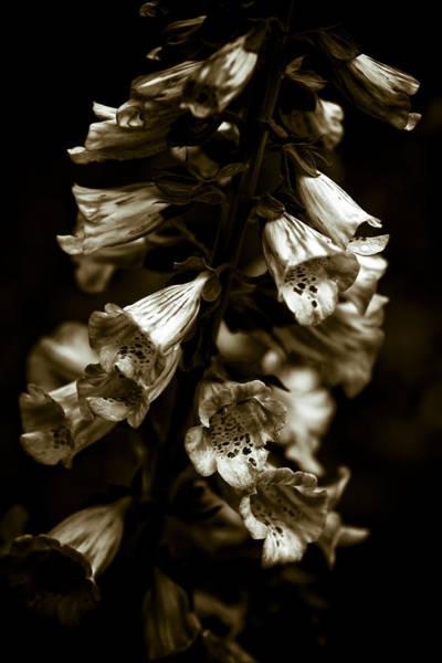 Foxglove Photograph - Foxglove Flowers by Frank Tschakert
