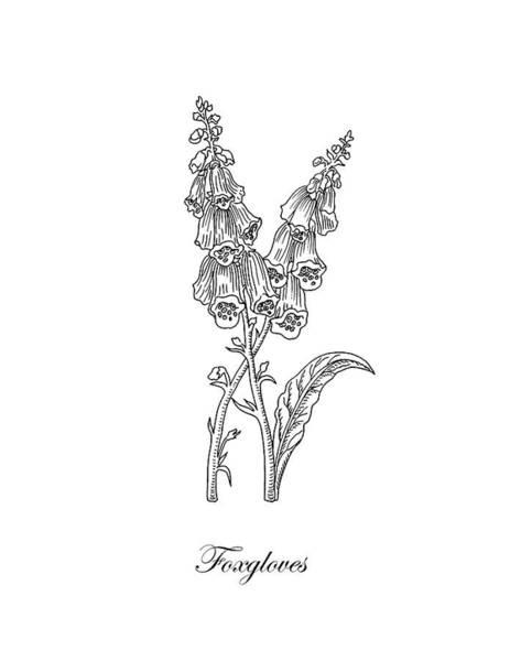 Foxglove Wall Art - Drawing - Foxgloves Flower Botanical Drawing  by Irina Sztukowski