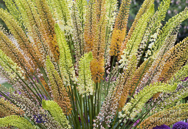 Wall Art - Photograph - Foxtail Lilies by Tim Gainey