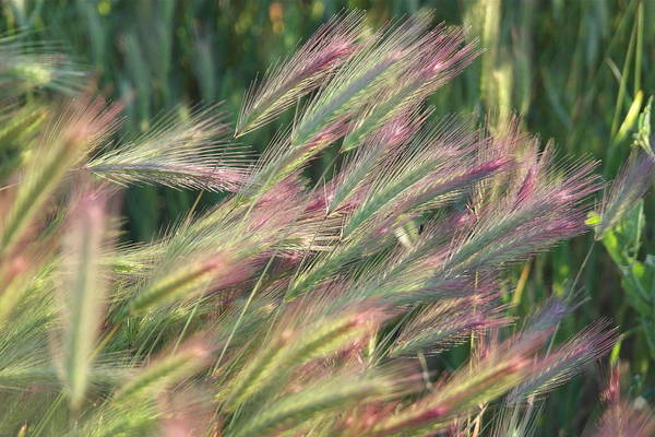 Foxtails In Spring Art Print