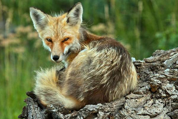 Photograph - Foxy And Groggy by Adam Jewell