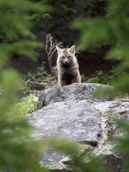 Photograph - Foxy by Dillon Kalkhurst