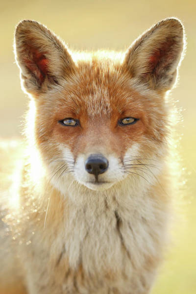 Intimate Portrait Wall Art - Photograph - Foxy Faces Series- Serious Fox by Roeselien Raimond