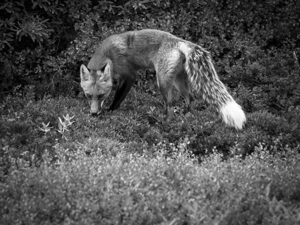 Photograph - Foxy Gaze by Ian Johnson