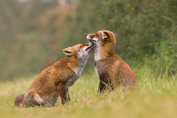 Cute Overload Photograph - Foxy Love- Kiss by Roeselien Raimond