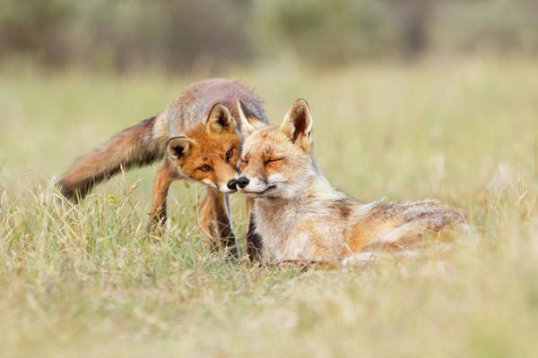 Relation Photograph - Foxy Love - Mother Fox And Fox Kit by Roeselien Raimond