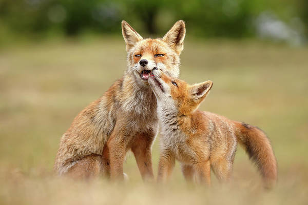 Suckling Wall Art - Photograph - Foxy Love Series - Love You, Mom by Roeselien Raimond