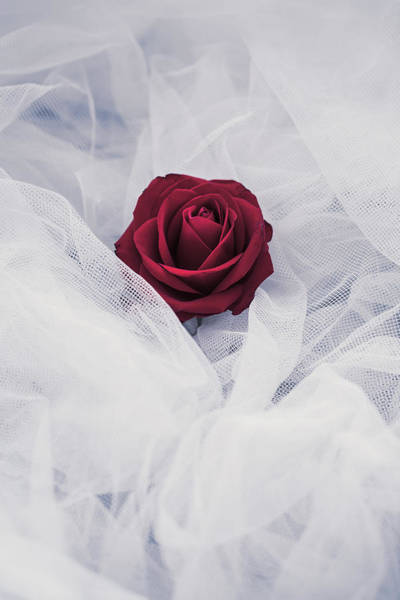 Rose In Bloom Photograph - Fragile by Art of Invi
