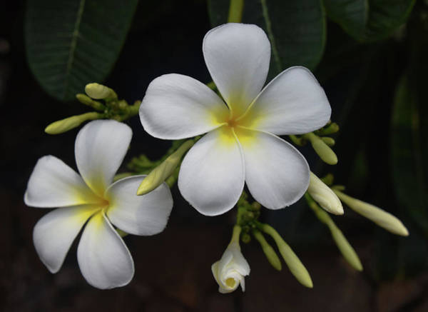Photograph - Fragrance Of Hawaii by Pamela Walton
