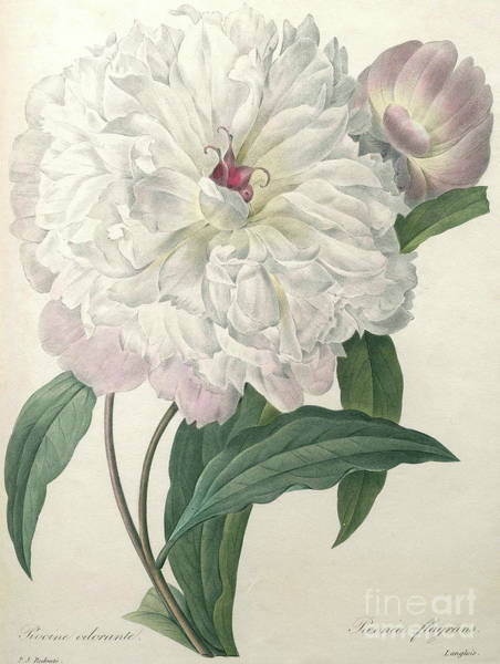 Wall Art - Painting - Fragrant Peony by Pierre Joseph Redoute