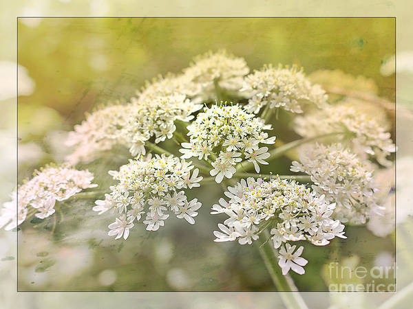 Wild Chervil Wall Art - Photograph - Framed Cow Parsley by Nick Eagles