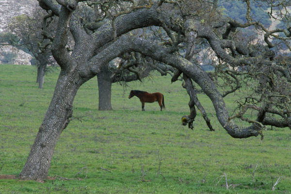 Solvang Photograph - Framed In Oak - Foxen Canyon Road by Soli Deo Gloria Wilderness And Wildlife Photography
