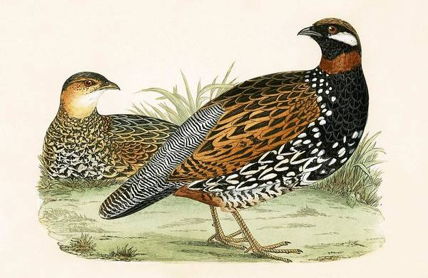 Ornithological Wall Art - Painting - Francolin by English School