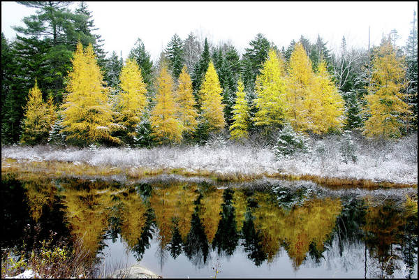 Photograph - Franconia Pond Larches by Wayne King