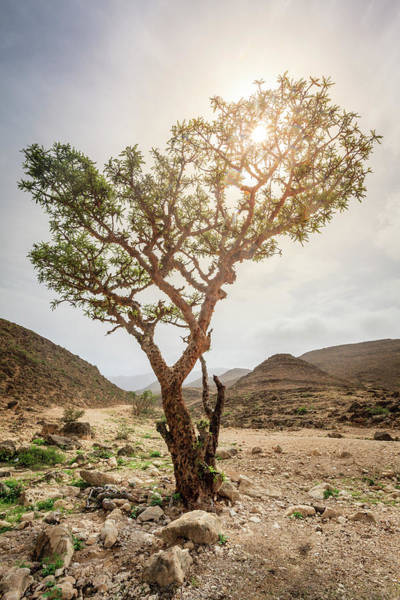 Wall Art - Photograph - Frankincense Tree by Alexey Stiop