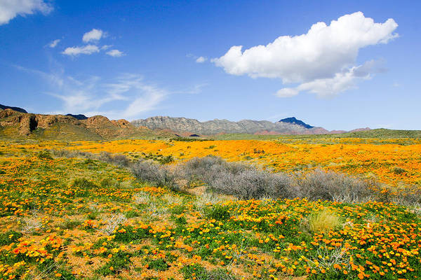 Photograph - Franklin Poppies Landscape by SR Green