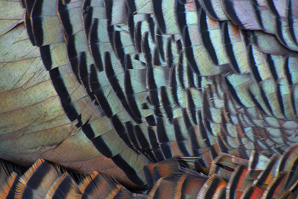 Meleagris Gallopavo Photograph - Franklin's Choice by Tony Beck
